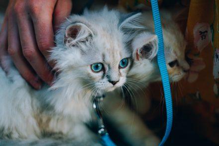 Britisch Langhaar Kitten an der Leine