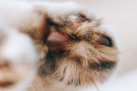 Britisch Langhaar Katze Fellfarbe