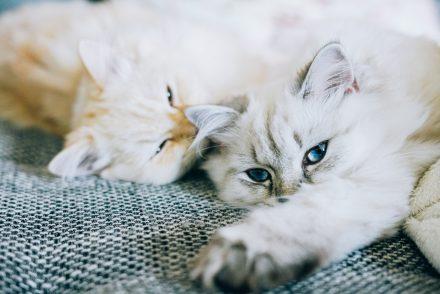 Britisch Langhaar Kitten auf Kuschelkurs