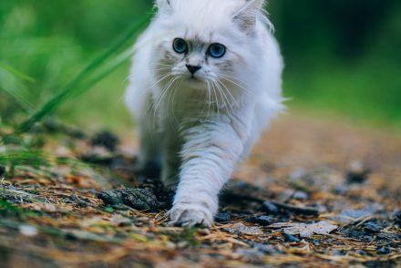 Britisch Langhaar Katze im Wald