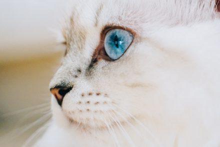Britisch Langhaar Katzensprache