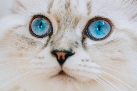 Britisch Langhaar Katze silver tabby point